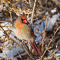 Backyard Birds Female Nothern Cardinal Square by Bill Wakeley