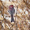 Backyard Birds Male House Finch by Bill Wakeley