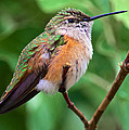 Backyard Broad Tailed Hummingbird by Stephen  Johnson