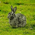 Backyard Bunny In Black White And Green by Daniel Thompson