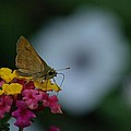Backyard Butterfly by John Greaves