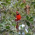 Backyard Cardinal In Tree by Carol  Bradley