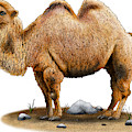Bactrian Camel by Roger Hall