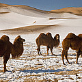 Bactrian Camel Trio Khongor Sand Dunes by Colin Monteath