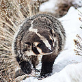 Badger In The Snow by Jack Bell