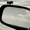 Badlands Bison Climbs Colossal Car by David Gilbert
