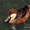 Bahama Pintail Duck by Myrna Bradshaw