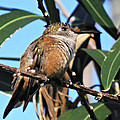 Bahama Woodstar Hummingbird by Kimberly Perry