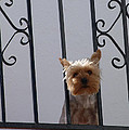 Balcony Dog by Phil Banks