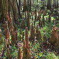 Bald Cypress Knees In Congaree National Park by Pierre Leclerc Photography