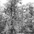 Bald Cypress Swamp In Black And White by Kathy Clark