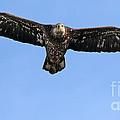 Bald Eagle 1238 by Jack Schultz