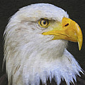Bald Eagle 2 by Ingrid Smith-Johnsen