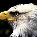 Bald Eagle 2 by Jim  Wallace