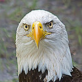 Bald Eagle 2 by Kenneth Albin