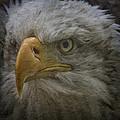 Bald Eagle 26 by Ingrid Smith-Johnsen