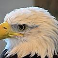 Bald Eagle 7615 by Bonfire Photography