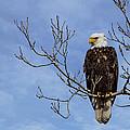 Bald Eagle by Aaron J Groen