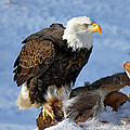 Bald Eagle And Carcass by Michael Johnk