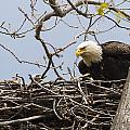 Bald Eagle And Eaglet by Jack R Perry