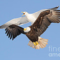 Bald Eagle And Greater Black-backed Gull by Scott Linstead