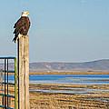 Bald Eagle At Lower Klamath National Wildlife Refuge by Cindi Buhrig