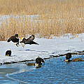 Bald Eagle Battle by Greg Norrell