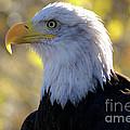 Bald Eagle Beauty by Kelly Black
