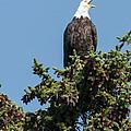 Bald Eagle by Bob Dowling