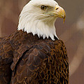 Bald Eagle by Bruce Nikle