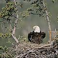 Bald Eagle Calling On Nest Alaska by Michael Quinton