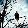 Bald Eagle by Cassie Peters
