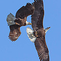 Bald Eagle Chase Over Pohick Bay Drb148 by Gerry Gantt