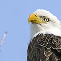 Bald Eagle Close Up by John Vose