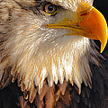 Bald Eagle Close-up by Lynne Sutherland
