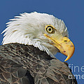 Bald Eagle Closeup by Dianne Phelps