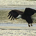 Bald Eagle Coming In For Landing by Mitch Spillane