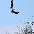 Bald Eagle Courtship Ritual  1330 by Jack Schultz