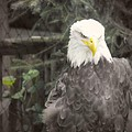 Bald Eagle by Dawn Gari