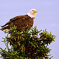 Bald Eagle by Debra  Miller