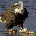 Bald Eagle by Dee Carpenter