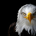 Bald Eagle by Ellen and Udo Klinkel