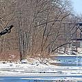 Bald Eagle Fledgling Near Ludwig Mill 2576 by Jack Schultz