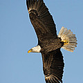 Bald Eagle Fly Over by Mike Fitzgerald