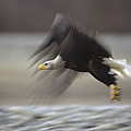 Bald Eagle Flying Alaska by Gerry Ellis