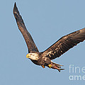 Bald Eagle Flying With Fish by Jerry Fornarotto