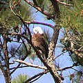 Bald Eagle Grooming by Robert Norcia
