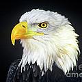 Bald Eagle Hailaeetus Leucocephalus Wildlife Rescue by Dave Welling