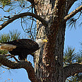 Bald Eagle In A Pine Tree by Jai Johnson