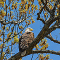 Bald Eagle In April by Jai Johnson